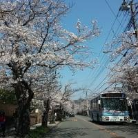 鎌倉・逗子ハイランド 桜  № 2