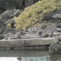 文京区後楽園庭園で、越冬するオカヨシガモの群れ。非常に珍しい種類に入ります。