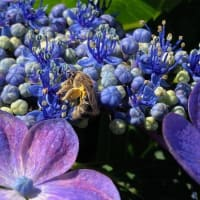 我が家の紫陽花に来る虫たち