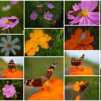 ●大乗寺丘陵公園 マリーゴールドにツマグロヒョウモン蝶 アキアカネ(トンボ)