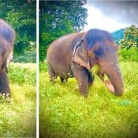 チェンマイに長い髪を持つおばあちゃん象がいた!