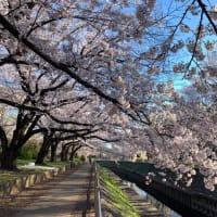 善福寺川緑地 桜