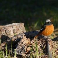 10/27探鳥記録写真-2(はまゆう公園の鳥たち:ジョウビタキ♂&♀、ホオジロ、メジロほか)
