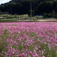 加古川志方町のコスモス