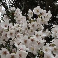 桜 満開 花散らしの雨