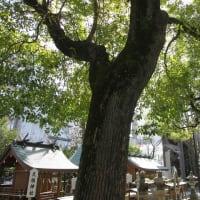 クスノキ 巨木