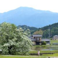 中津川ヒトツバタゴ巡り