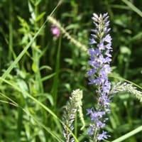 「おはようの花」  ヤマトラノオ   8月