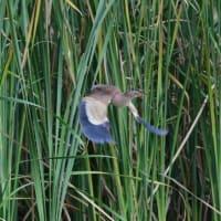 葦を飛び移っているヨシゴイも見えた。