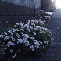 夕暮れの路傍で咲くキク