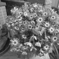 Florist's Cineraria
