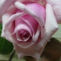 #0018 -'19. 我が家のつるバラ