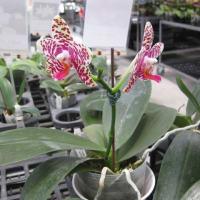 台湾の蘭園で胡蝶蘭原種を購入