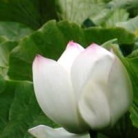 「おはようの花」 [蓮(はす)] 8/13