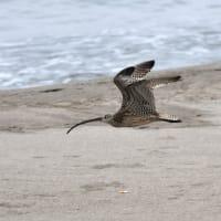 ホウロクシギ 飛翔
