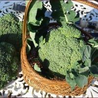 くまがまたやった!★ブロッコリーの収穫