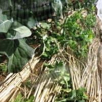菜園日記 Vol.492 2月 20日 「ジャガイモの植付け」