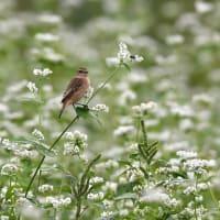 白そばの花畑でノビタキ~⑥~