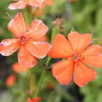 「おはようの花」 フシグロセンノウ(節黒仙翁) 7月