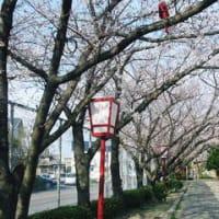 近所の公園の桜 パート2