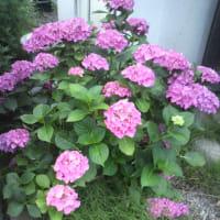 ハイドランジア#紫陽花