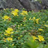 ●犀川 スイカズラに熊蜂くん ヒペリカム・カリシナム カシワバアジサイ