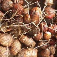 第5回ヴォーカルアンサンブル & フリーマーケット用に里芋を収穫