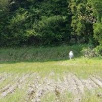草焼きと畔草刈り