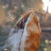 ガガイモの綿毛