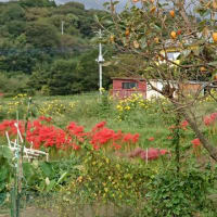 彼岸花と柿