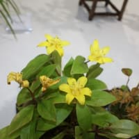 「おはようの花」 季節の山野草  黄花ホトトギス 10月