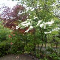 コデマリという名の木