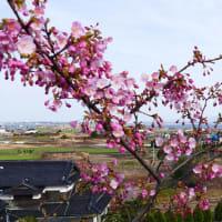 山陰地区も桜が咲き始めた(2020年2月21日撮影分)