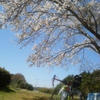 最後の花見サイク