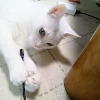 4月23日(火)のつぶやき 俺の真横で一人(一匹)遊びしてる #ミルコ 白猫ミルコ 福岡市内、スッゴい!!雨 つぶやきまとめ自動投稿終了