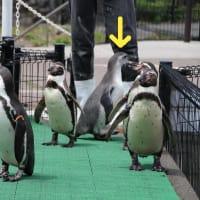 御子様ペンギンお散歩中・2