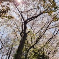 釜山の春をお伝えしたいけど。。犬のしつけ動画見てヒーリング