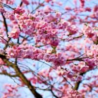 Philippinesから見た日本の春