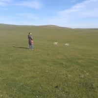 迷子になった子羊の母親を見つける