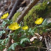 高千穂の山に 「福寿草」 ~  令和2年2月11日 満開でした。