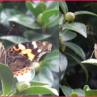 蝶が庭にやって来た