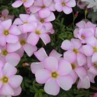 ラブハピネスの花は