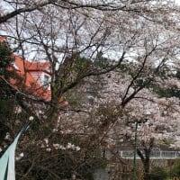今日(28日)のドリームファームの桜