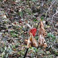 アキノタムラソウ、と   イノチあふれる深い森       千葉県千葉市の深い森
