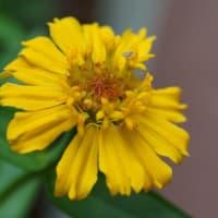 ●我が家の8月の花(9) 百日草 カザグルマのように
