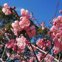 京の梅花情報2020 京都御苑