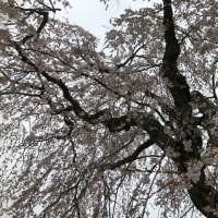 『桜情報』 NO.5