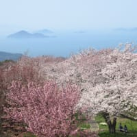 香川の桜の名所へ