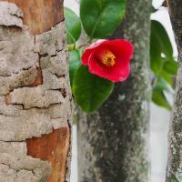 赤い1輪の椿