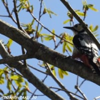 野鳥 アカゲラ
